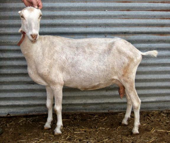 Keno goat